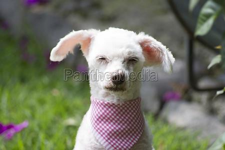 french poodle sleepyhead iii