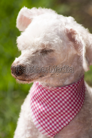 french poodle sleepyhead
