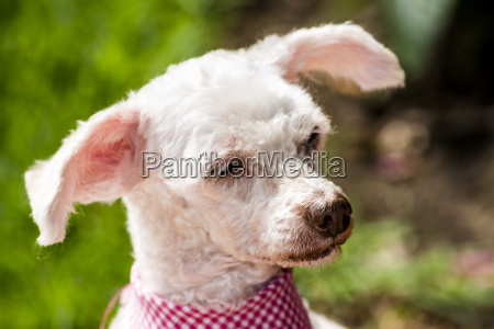 resting white poodle