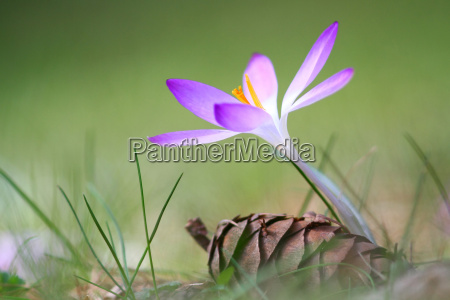 early bloomer crocus