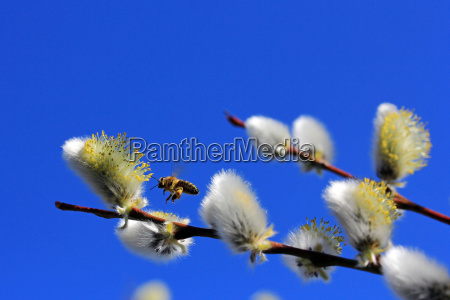 a busy bee in spring