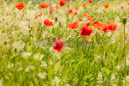 meadow flowers poppy plants wheat grass