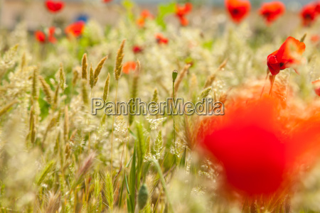 flowers poppy plant meadow wheat wind