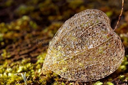 planta de filigrana en musgo