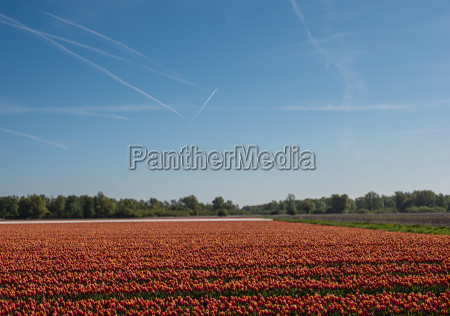 filed of orange tulips