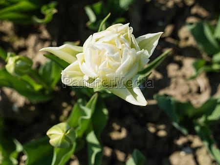 close up of white tulip