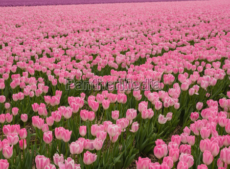 field of pink colored tulips