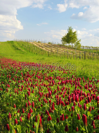 landscape with red clover