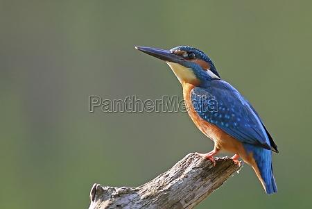 el kingfisher