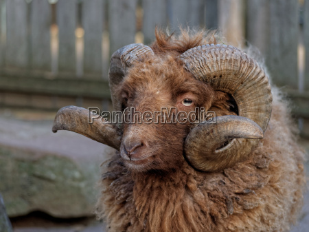 buck de oveja con cuernos curvos