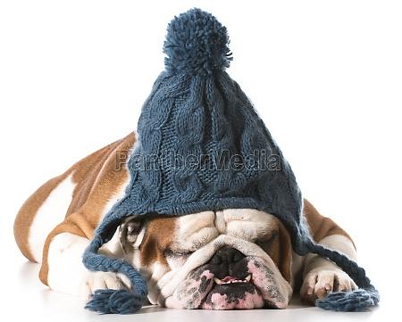 perro que usa el sombrero del