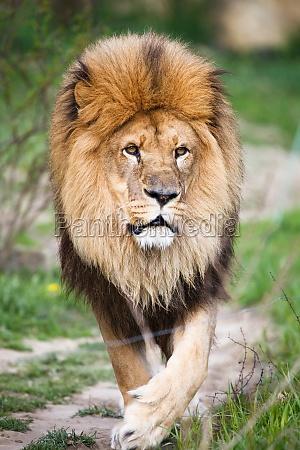 leon macestic caminando
