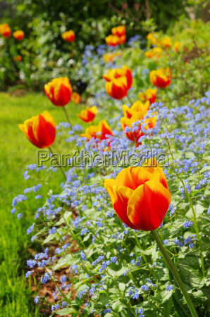 tulipan y gissing cara tulipan y