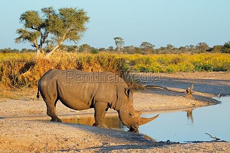 beber rinoceronte blanco