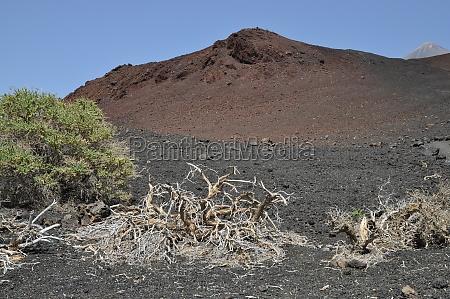 arbol madera espanya canario volcanes tenerife