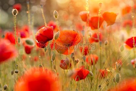 campo de amapola en flor en