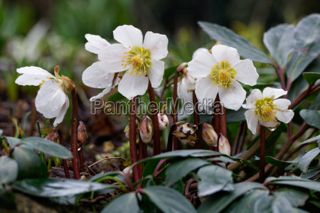 eleboro helleborus niger eleboro schneerose