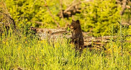 oso america fauna jovenes