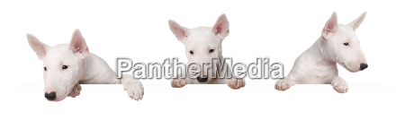 cute dogs puppy isolated on white
