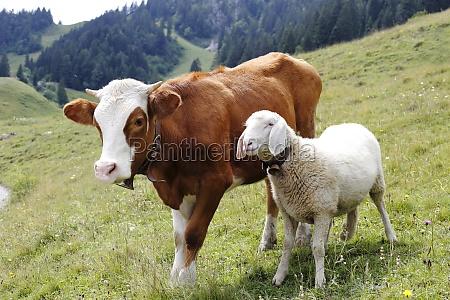 vaca y oveja