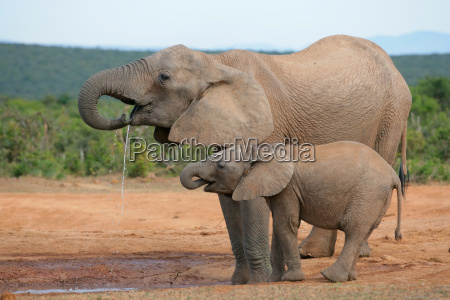 beber elefante africano