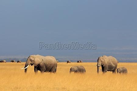 elefantes africanos en pastizales