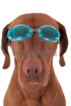 perro de oro con gafas de