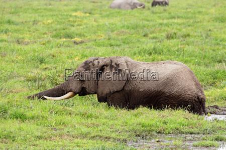 mamifero africa elefante kenia fauna safari