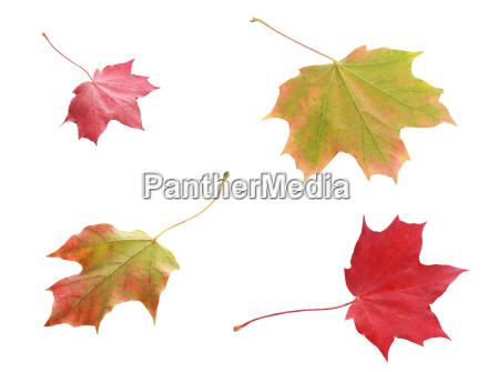 cuatro coloridas hojas de otonyo abigarradas