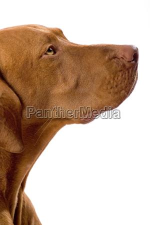 color dorado perro retrato
