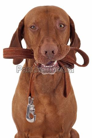 ir animal mamifero cazador puntero perro