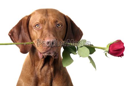 perro con rosa en la boca