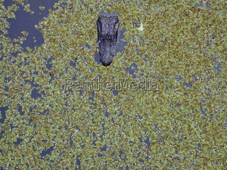 animal los animales cocodrilo anfibios reptil