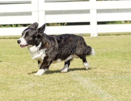 rebeca mostrar negro perro lana de