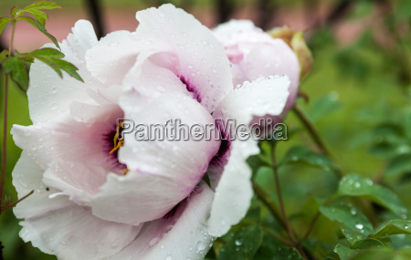 flor de peonia rosa palido con