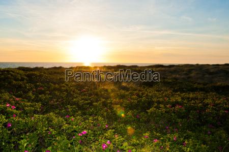 campo de flor de la puesta