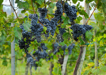 blue grapes ripe on the vine
