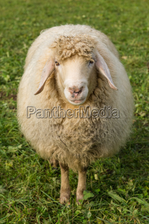 ovejas en un prado verde