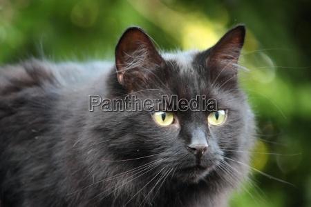 guapo aireado negro gatito observar atentamente