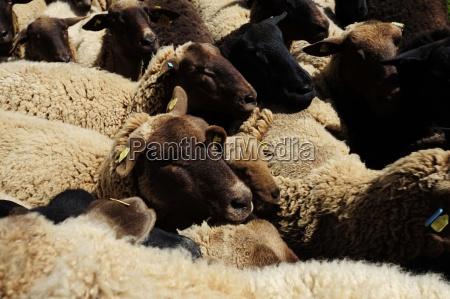 ovejas ovejas uso portador uso zootecnia