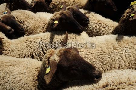 ovejas animales de granja animales de
