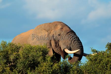 retrato de elefante africano