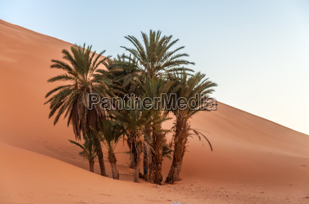 date palm trees in the sahara