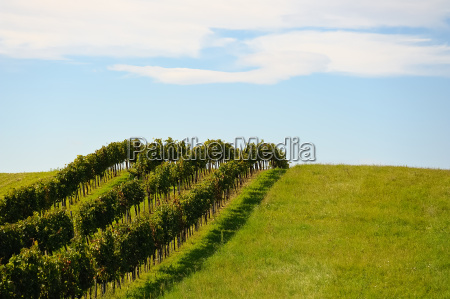 three rows of a vineyard