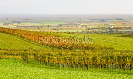 weingarten in autumn in burgenland