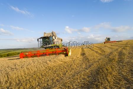 trigo de la cosecha en el