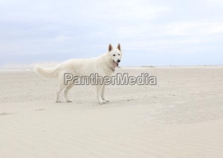 perro blanco en la playa