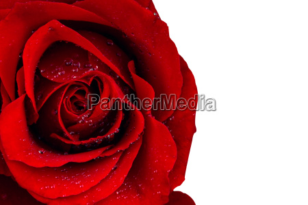 red rose bloom