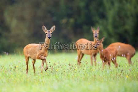roe deer with family in the