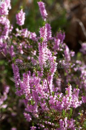 flores purpura portugal sangrar brezo